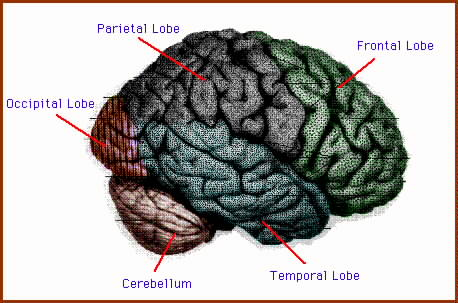 many areas of the cerebral cortex process sensory information or coordinate motor output necessary for control of movement these areas are divided into